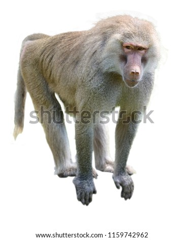 One young Hamadryas baboon looking at camera isolated on white background. No people. Copy space