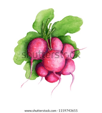 Watercolor pink radish, isolated on white, hand drawn botanical illustration.