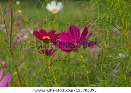 Cosmos flowers #115988095