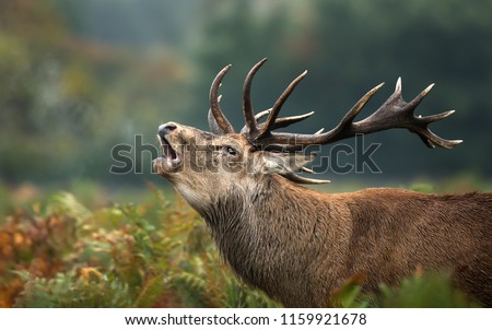 Close up of a red deer stag roaring  during rutting season in autumn, UK