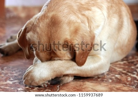 The dog is ashamed. He closed his muzzle with his paws. Labrador. #1159937689