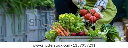 Unrecognisable female farmer holding crate full of freshly picked vegetables in her garden. Homegrown bio produce concept. Sustainable farm concept banner. #1159939231