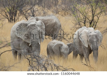 a big elephant family in africa is walking around for eating and drinking water #1160044648