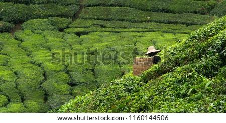 Worker picking tea leaves in tea plantation #1160144506