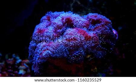 Lobophyllia open brain lps coral #1160235529