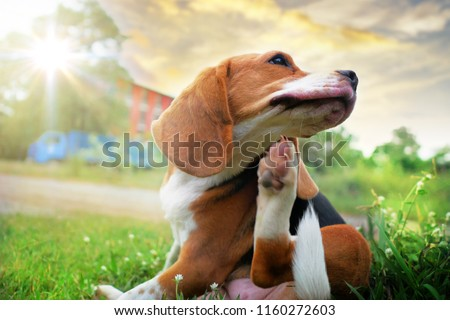 Beagle dog scratching body on green grass outdoor in the park on sunny day.