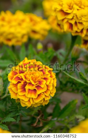 Marigold flowers in the garden on summer , yellow flowers ,beautiful flowers on summer in the nice day herb flowers #1160348752