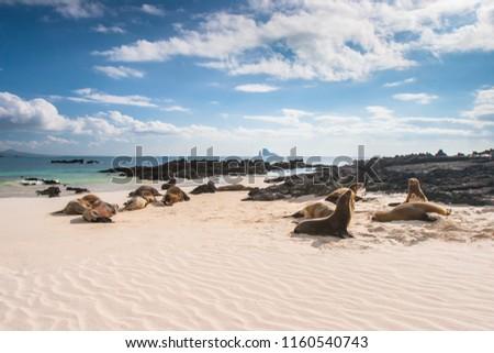 Ecuador. The Galapagos Islands. Seals are sleeping on the beach. Beaches of the Galapagos Islands. Pacific Ocean. Seals in Ecuador. Animals of the Galapagos Islands. #1160540743