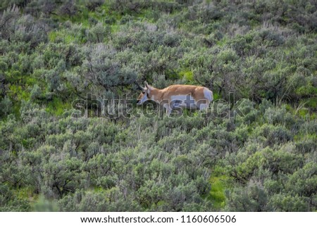 View of white-tailed family deers grazing the grass located in the Yellowstone National Park #1160606506