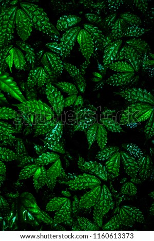 Green leaves background. Green leaves color tone dark  in the morning. Tropical Plant , environment, photo concept nature and plant. #1160613373