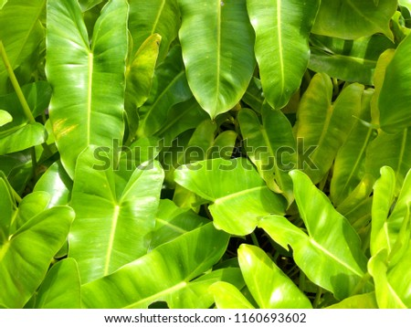 Leaves of Dwarf Bouquet are beautiful green, Dracaena dermensis. #1160693602