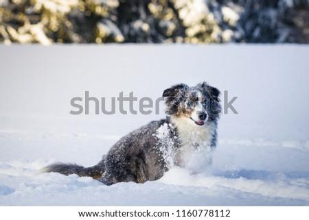 Mili the Miniature Australian Shepherd, Stunning Blue Eyes, Snow #1160778112