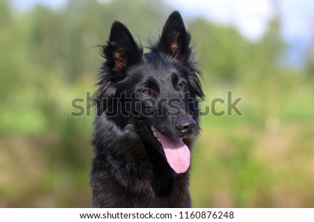 Summer portrait of black groenendael-dog with green background. Working agility belgian shepherd groenendael portrait. Beautiful young, smiling and happy dog breed belgian shepherd groenendael #1160876248