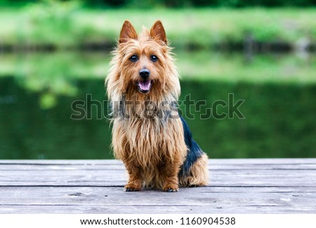 Summer portrait of black and sable tan purebred typical australian terrier. Pedigreed australian terrier dog sitting outside on wooden pier with green background. Smiling attractive doggy portrait  #1160904538