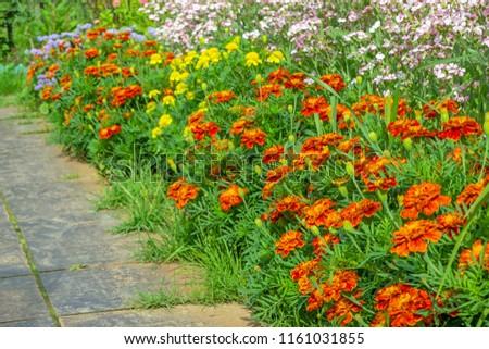 Garden flowers marigolds #1161031855