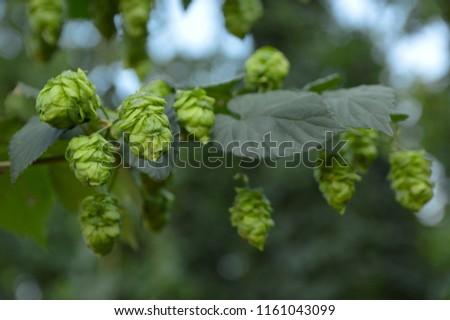 ripe hop  cones close up #1161043099