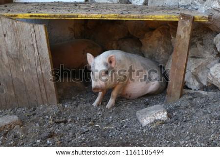a little pig #1161185494