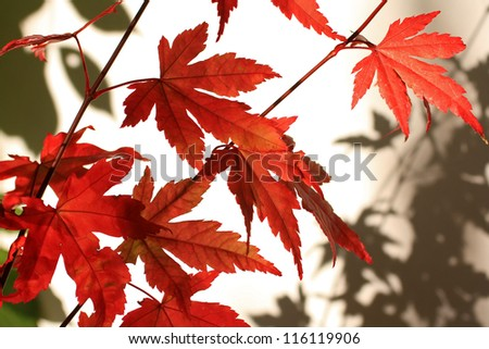 Beautiful red japanes maple against white background #116119906