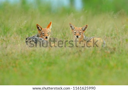 Two Black-Backed Jackal, Canis mesomelas mesomelas, portrait of animal with long ears, Kenya, South Africa. Beautiful wildlife scene from Africa with nice sun light. Jackals lying in the grass. #1161625990