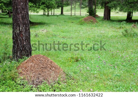 Anthill in the mountain forest (DOLOMITI) #1161632422
