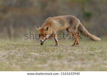 Red fox in nature #1161633940