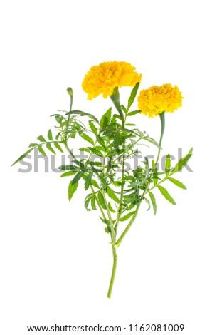 Marigolds with yellow orange flower on white background. Studio Photo #1162081009