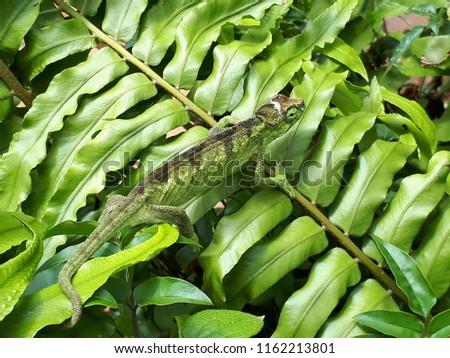Green African chameleon on a giant fern #1162213801