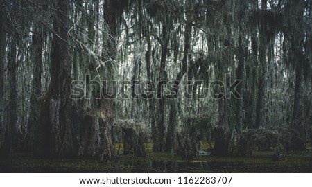 Spanish moss drips down from the branches of Cypress trees in the Lake Martin bayou, in the swampland surrounding Breaux Bridge in the St. Martin Parish, Louisiana.  USA