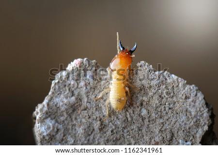 Termite in Termite mound.