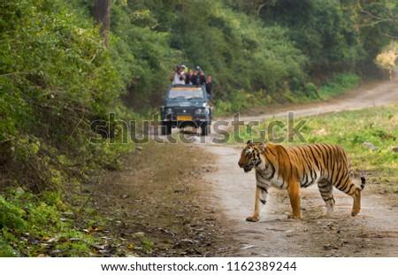 Tourist on safari and Bengal Tiger  #1162389244