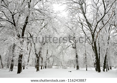 Trees with snow in winter park #116243887