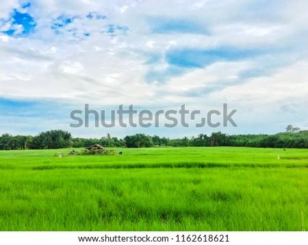 Rice field green grass blue sky cloud #1162618621