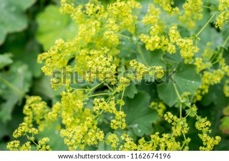 Closeup of flowering Lady's mantle plant (Alchemilla) #1162674196