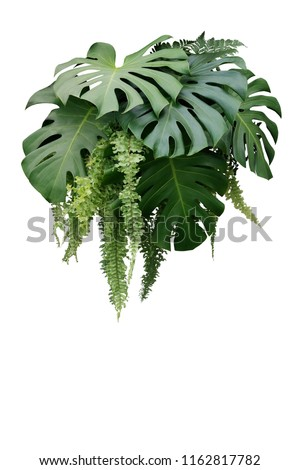 Tropical foliage plant bush of Monstera and hanging fern green leaves floral arrangment nature backdrop isolated on white background, clipping path included. #1162817782