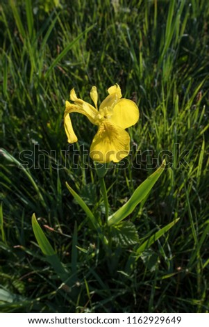 yellow Iris flower #1162929649