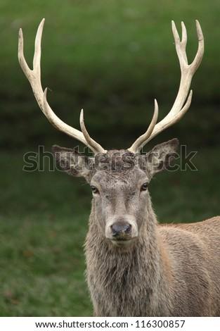 Red Deer Stag #116300857