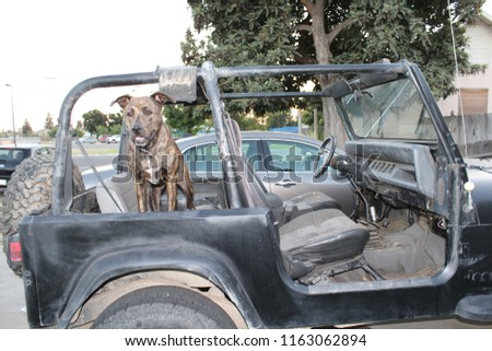 A brindle pit bull loving standing in the jeep. #1163062894