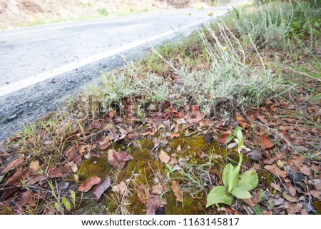Ophrys umbilicata is a species of orchid found from Albania to Iran, including Greece, Israel, Turkey and Cyprus. Individual next to road. #1163145817