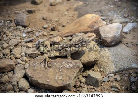 Laudakia caucasia: The Caucasian agama (Paralaudakia caucasia) is a species of agamid lizard found in the Caucasus. Photos are taken in Azerbaijan Absheron peninsula. Georgia #1163147893
