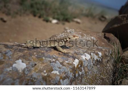 Laudakia caucasia: The Caucasian agama (Paralaudakia caucasia) is a species of agamid lizard found in the Caucasus. Photos are taken in Azerbaijan Absheron peninsula. Georgia #1163147899