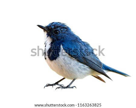 Lovely chubby blue bird, Superciliaris ficedula (Ultramarine Flycatcher) beautiful blue bird with white feathers on its chest to belly isolated on white background details from head to tail #1163263825