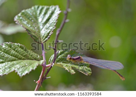 Small Red-eyed Damselfly (Erythromma viridulum), Crete, Greece #1163393584