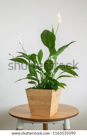 peace lily house plant in wooden bamboo pot #1163533390