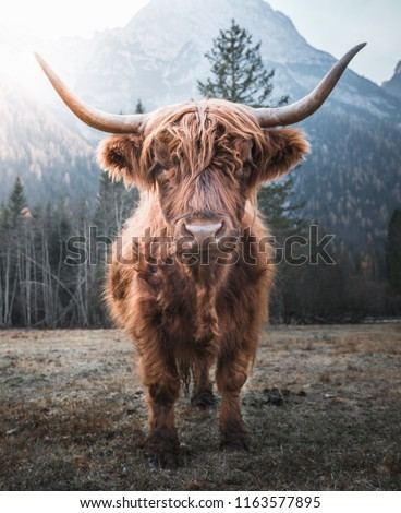 Beautiful horned Highland Cattle enjoying the Sunrise on a Frozen Meadow in the Italian Dolomites Royalty-Free Stock Photo #1163577895