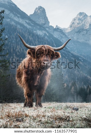 Beautiful Highland Cattle standing alone on a frozen Meadow in front of Huge Peaks in the Italian Dolomites #1163577901