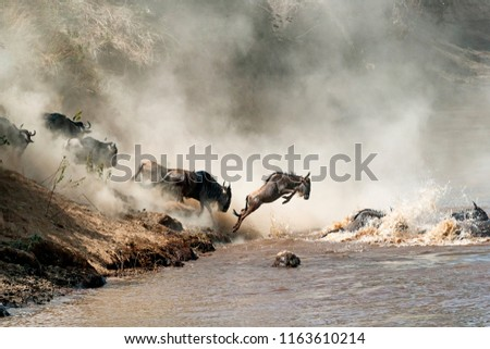 Migrating wildebeest in mid-air leaping into the dangerous Mara River with dusty dramatic background #1163610214