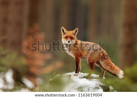 red fox (Vulpes vulpes) posing at spring woods