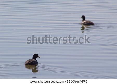 Two Ducks Swimming #1163667496