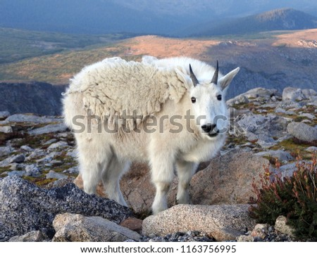 close up of  a  mountain goat grazing at dusk in the alpine tundra near the summit of mount evans, colorado