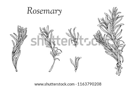 Vector set  with rosemary hand drawn elements.  Editable set for packaging design with rosemary branches. #1163790208